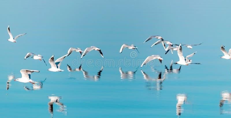 Un panorama horizontal de una multitud de los pájaros de la gaviota del vuelo bajos sobre el agua azul Fondo natural hermoso imagenes de archivo