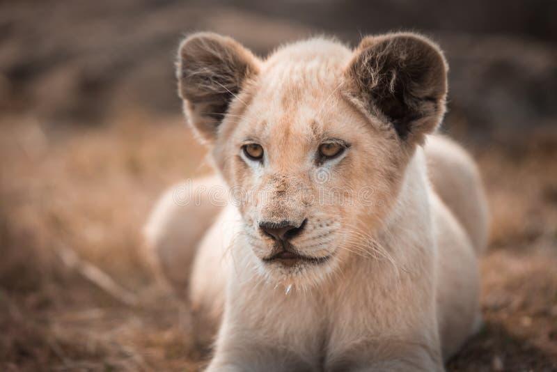 Un panthera blanc de Lion de petit animal de lion se situant dans l'herbe images libres de droits
