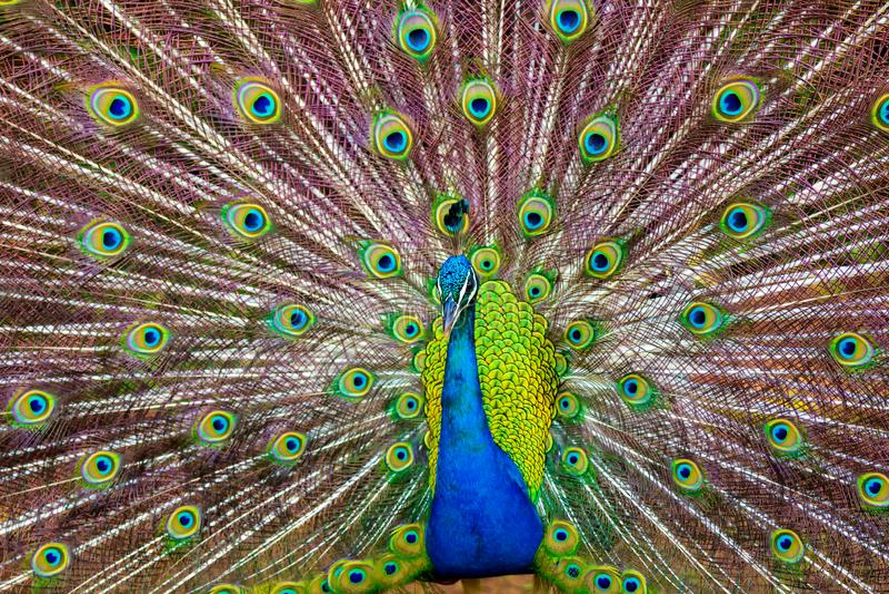 Un paon montrant ses plumes colorées dans Kauai, Hawaï image libre de droits