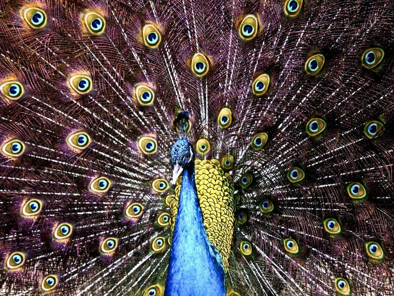 Un paon soulève fièrement ses plumes photographie stock libre de droits