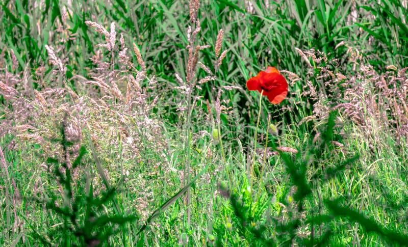 Un papavero rosso fra gli altri fiori fotografie stock