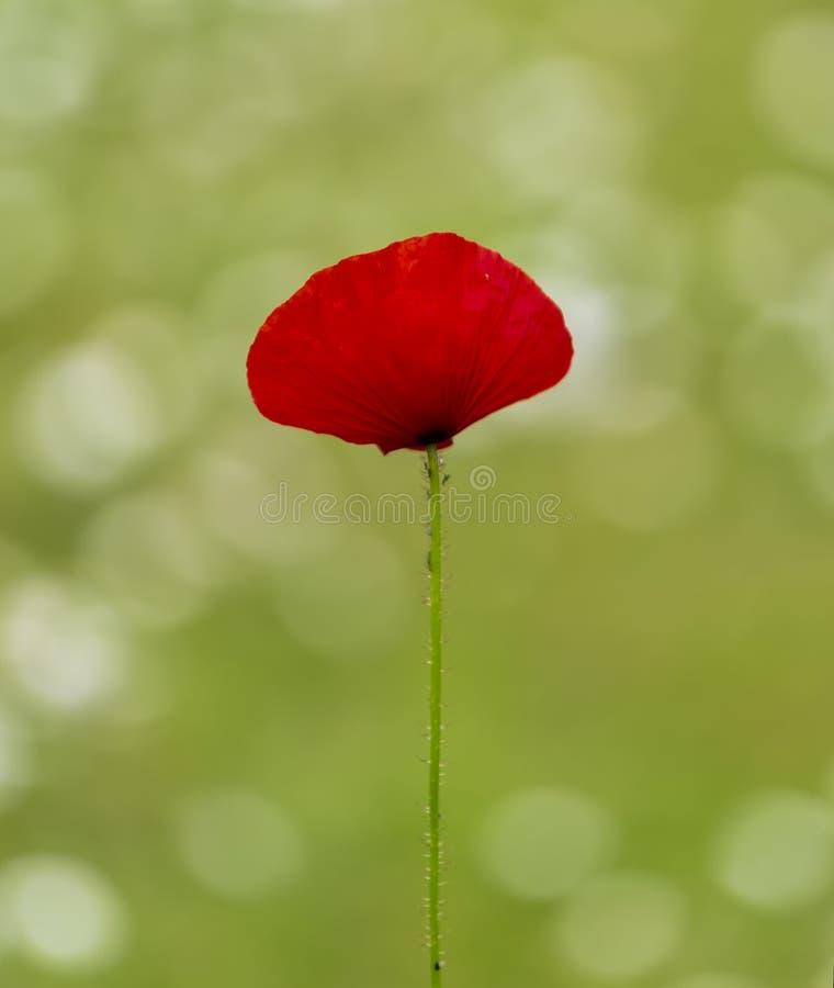 Un papavero rosso solo immagine stock libera da diritti