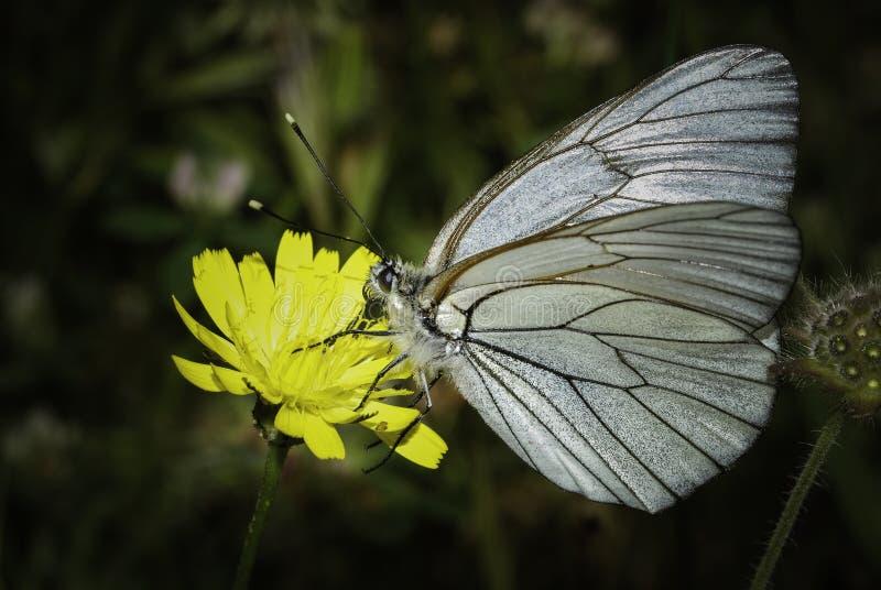 Un papillon alimentant sur la fleur photos libres de droits