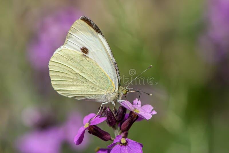 Un papillon blanc de chou sur une fleur pourpre du mauve de Bowles d'Erysimum photographie stock libre de droits