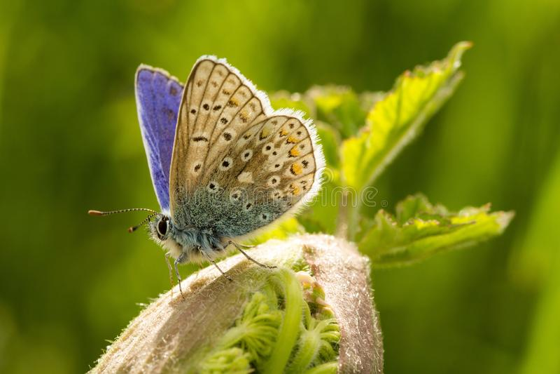 Un papillon bleu commun masculin avec des ailes s'ouvrent images stock