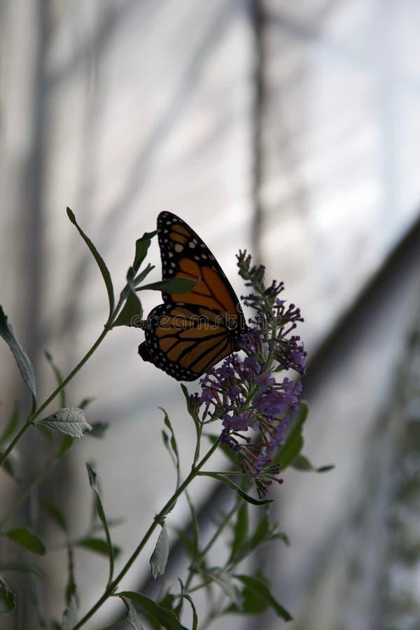 Un papillon d'orange, blanc et noir avec les winngs pliés étés perché sur une fleur pourpre photos libres de droits