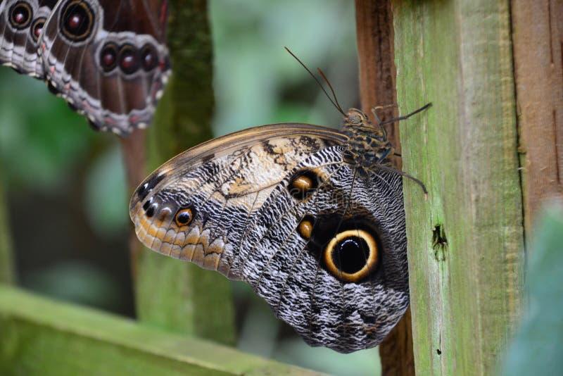 Un papillon de façon saisissante coloré avec un oeil sur les ailes images libres de droits
