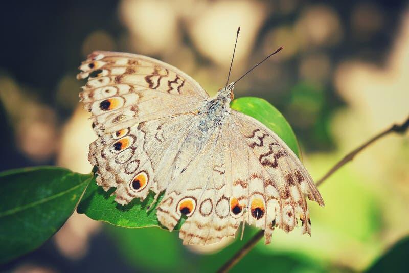 Un papillon de Gray Pansy sur une feuille photos stock