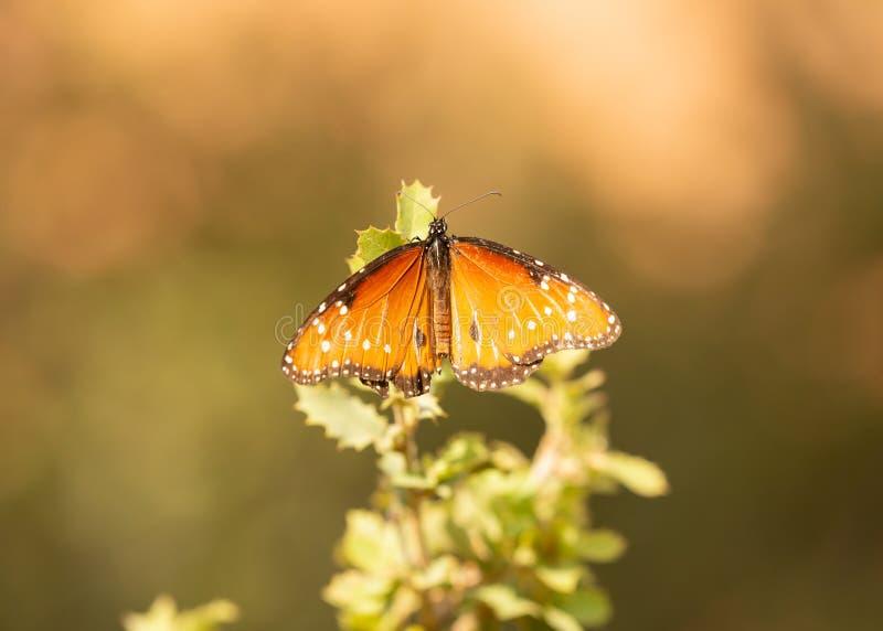 Un papillon de reine s'arrête pendant un instant sur l'astuce de l'frottent la branche de chêne dans le désert de l'Utah du sud photographie stock libre de droits