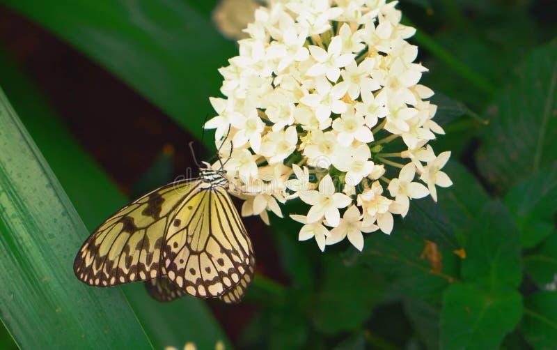Un papillon est engagé dans la pollinisation d'une fleur photos stock