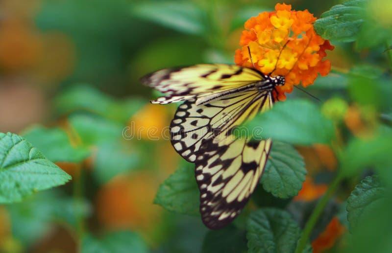 Un papillon est engagé dans la pollinisation d'une fleur photos libres de droits
