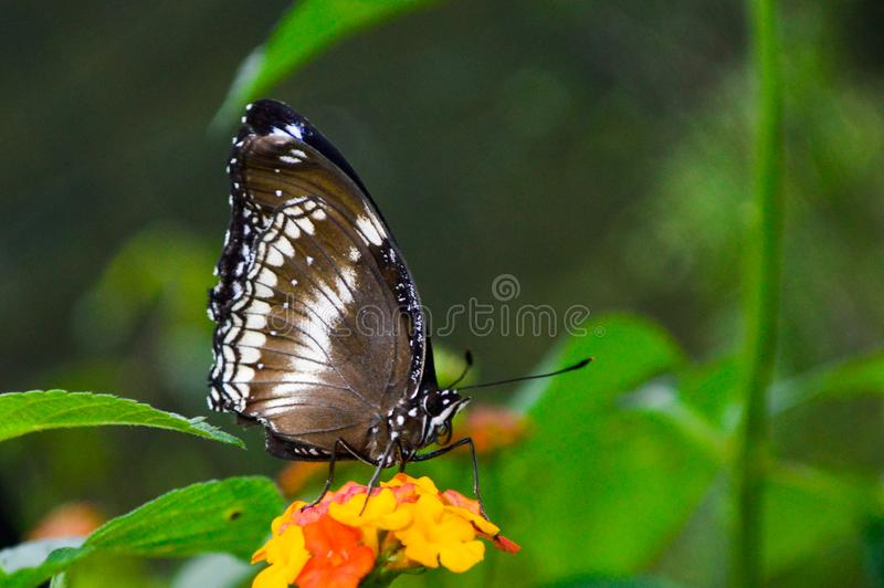 Un papillon noir et blanc obtenant le pollen d'une fleur images libres de droits