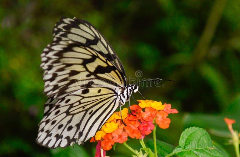 Un papillon noir et blanc obtenant le pollen d'une fleur photographie stock libre de droits