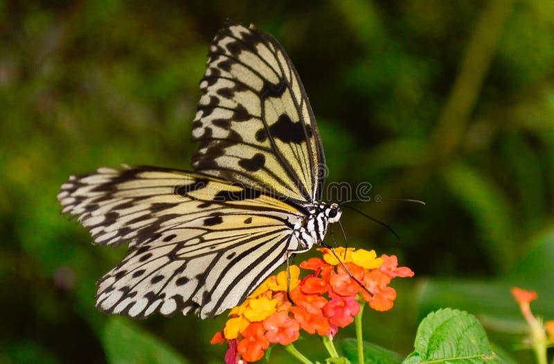 Un papillon noir et blanc obtenant le pollen d'une fleur photographie stock