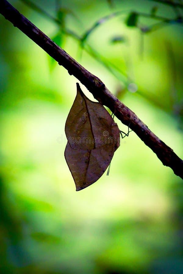 Un papillon orange d'oakleaf était perché sur une branche d'arbre photos libres de droits