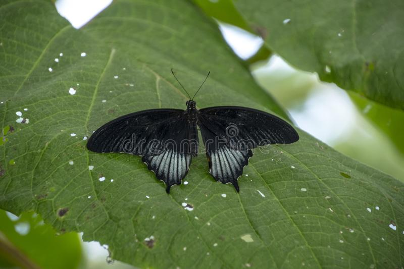Un papillon pourpre Rouge-repéré, arthemis de Limenitis se repose sur une fougère photo stock
