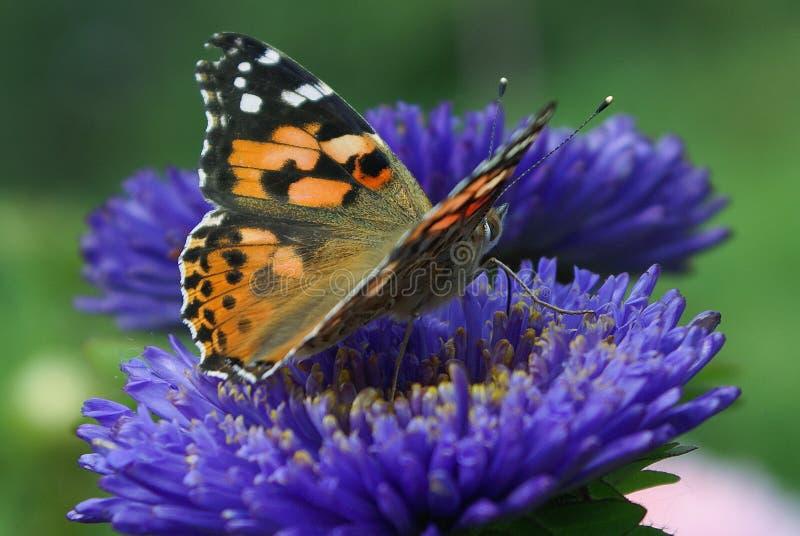 Un papillon sur une fleur bleue d'aster, taches noires et blanches sur les ailes oranges photos stock