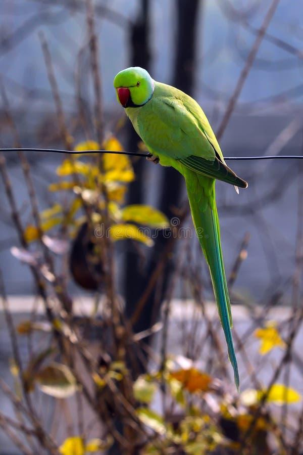 Un pappagallo che mi esamina immagine stock libera da diritti