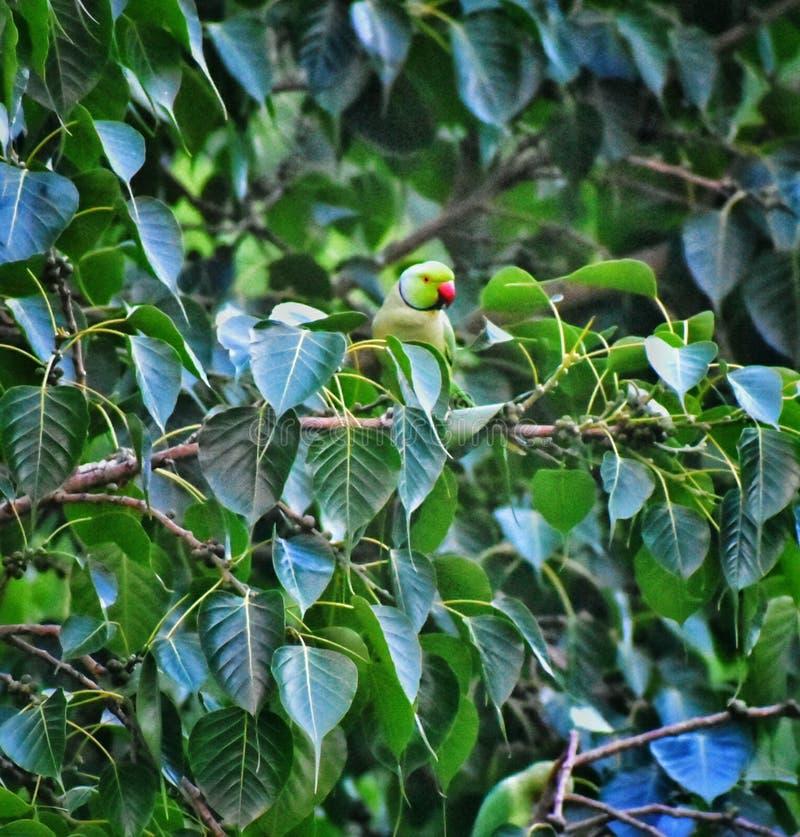 Un pappagallo che si siede su un brach dell'albero di banyan che riposa dopo la volata fotografia stock