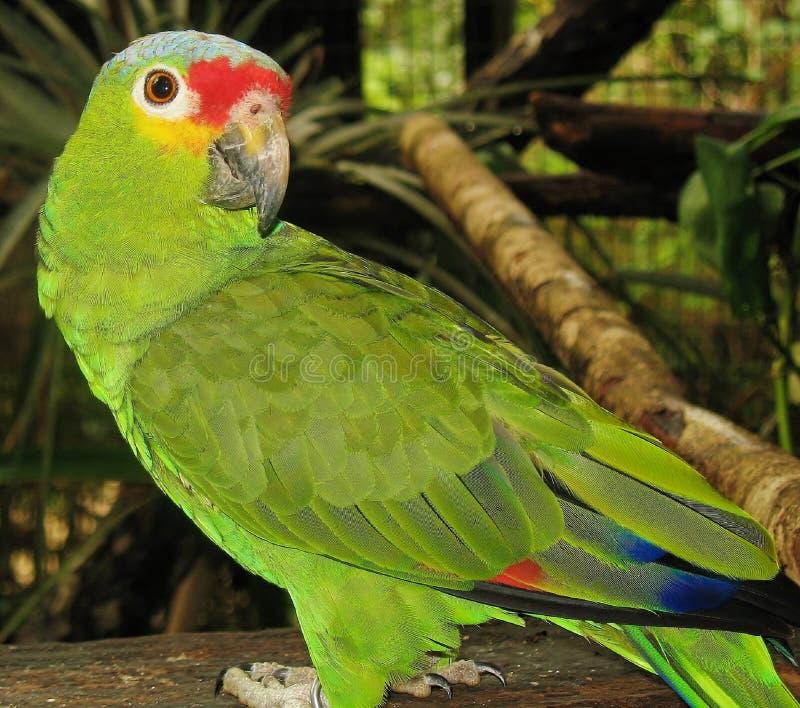 Un pappagallo rosso--Lored immagini stock libere da diritti