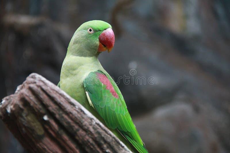 Un pappagallo verde ha becco rosso sta stando sul legname e sta osservando qualcosa il lato destro dello spettatore fotografia stock libera da diritti