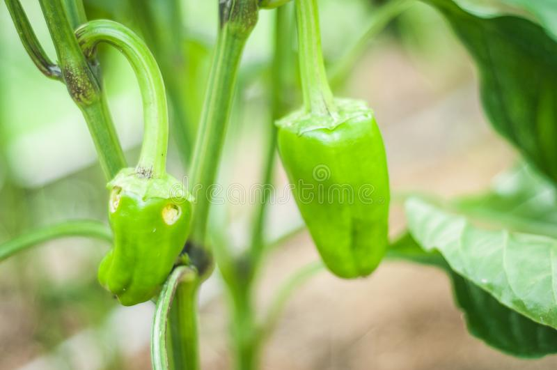Un paprika vert minuscule en cours de croissance est affecté par des parasites et des insectes dans le jardin image libre de droits