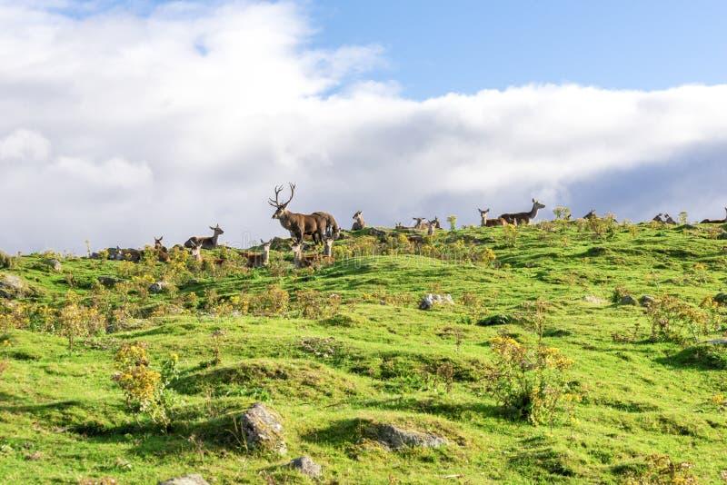 Un paquet de cerfs communs rouges le long de voie de safari en parc des montagnes de faune, Ecosse photographie stock libre de droits