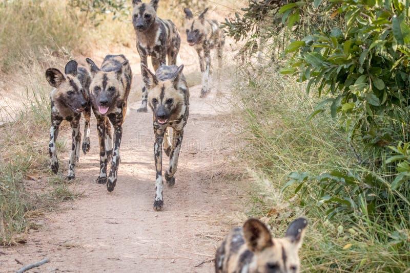 Un paquet de fonctionnement africain de chiens sauvages image stock