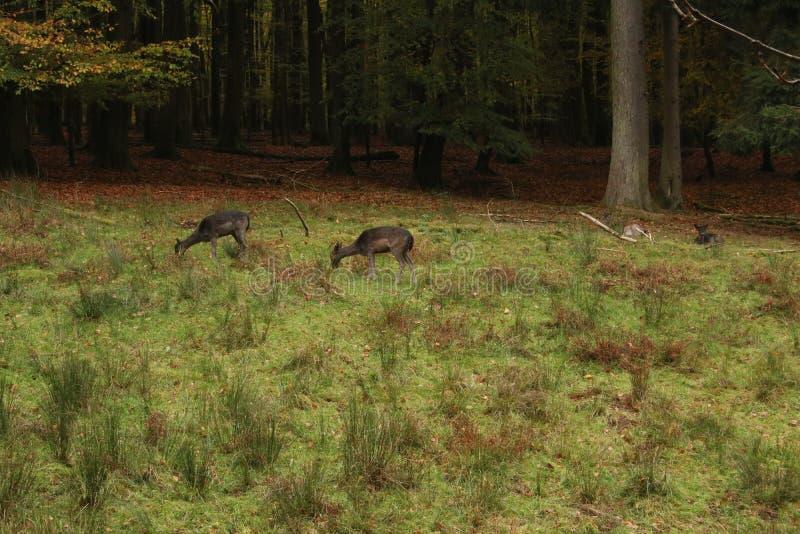 Un paquete de los ciervos de Sika en la más forrest imagen de archivo libre de regalías