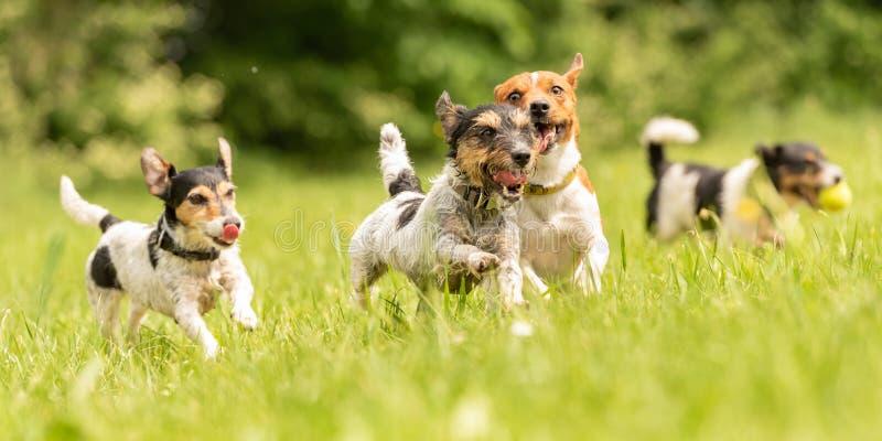 Un paquete de pequeño Jack Russell Terrier es de funcionamiento y que juega junto en el prado con una bola fotografía de archivo libre de regalías