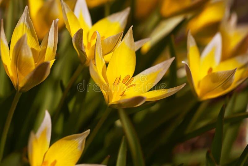 Un paquete de tarda salvaje amarillo del Tulipa de los tulipanes fotografía de archivo libre de regalías