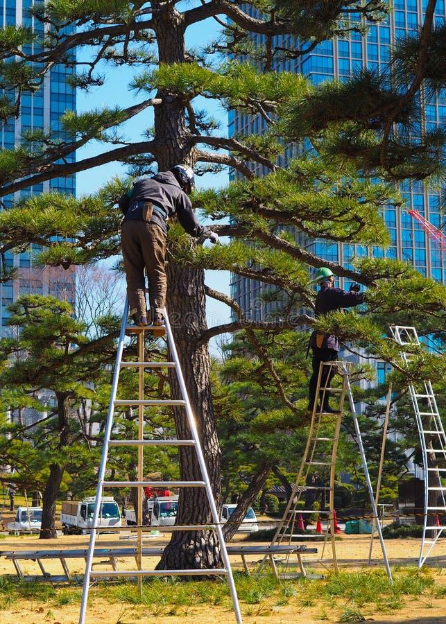 Un par de arboristas, cirujanos de árbol, en el trabajo en Tokio Japón fotografía de archivo libre de regalías