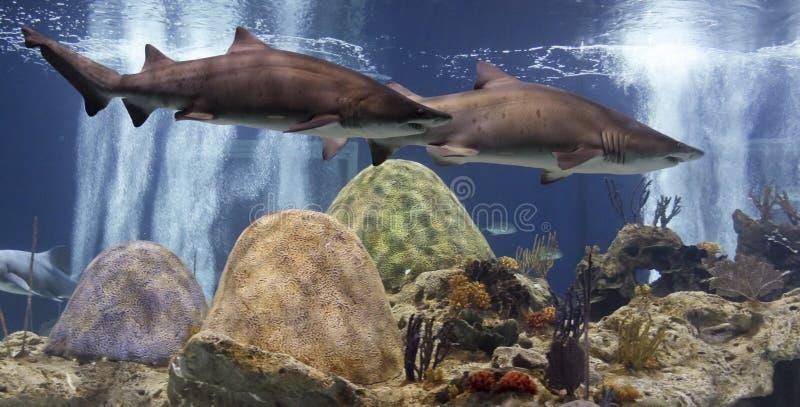 Un par de arena Tiger Sharks, acuario de OdySea fotografía de archivo libre de regalías