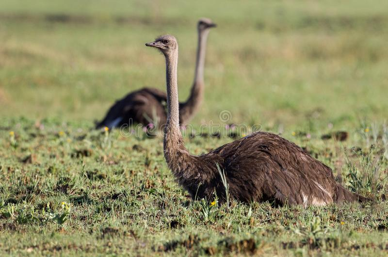 Un par de avestruces de reclinación fotos de archivo libres de regalías