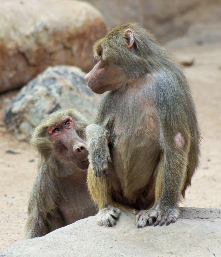 Un par de babuinos aparentemente en la conversación imágenes de archivo libres de regalías