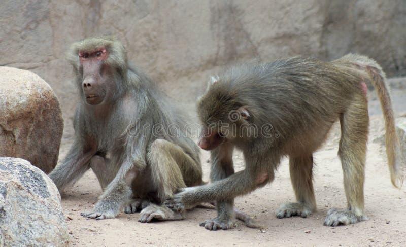 Un par de babuinos Sit Grooming Each Other fotos de archivo libres de regalías