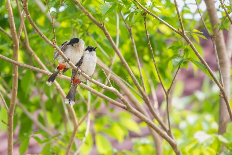 Un par de bulbuls rojo-patilludos plume sus plumas en el árbol fotos de archivo libres de regalías