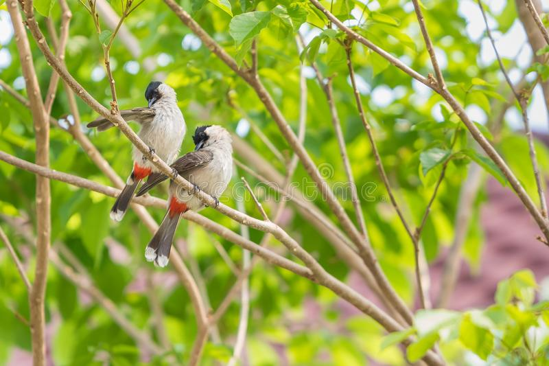 Un par de bulbuls rojo-patilludos plume sus plumas en el árbol fotografía de archivo libre de regalías