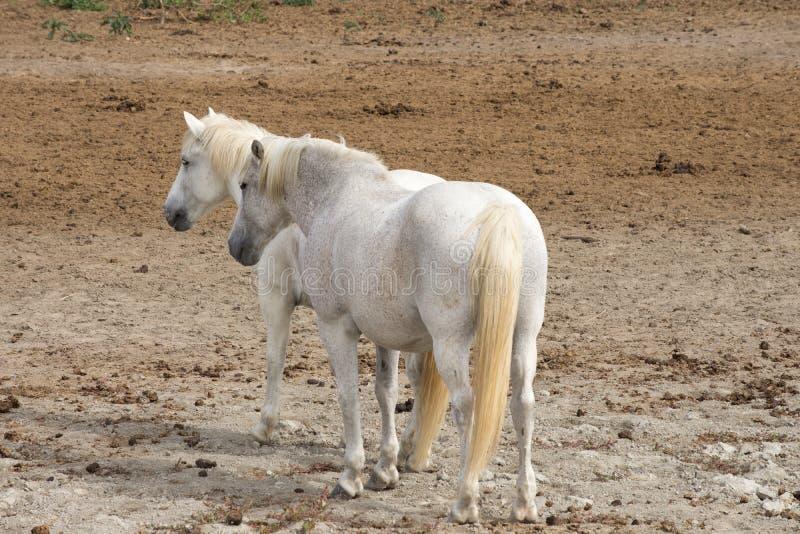 Un par de caballos de Camargue que se colocan en un campo desnudo imágenes de archivo libres de regalías
