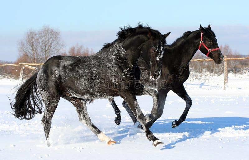 Un par de caballos galopantes imágenes de archivo libres de regalías