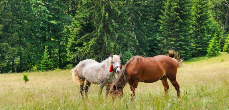 Un par de caballos hermosos está pastando en un prado del bosque wide imágenes de archivo libres de regalías