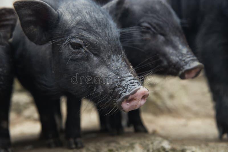 Un par de cerdos imagen de archivo