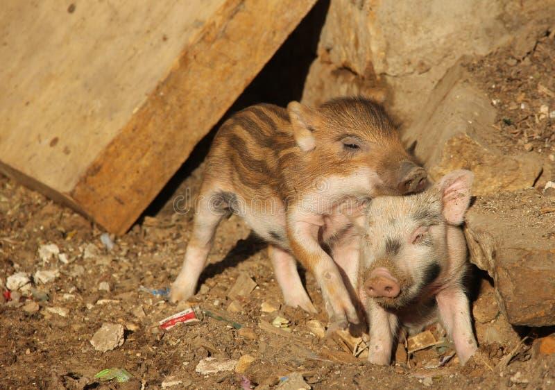 Un par de cerdos en una pluma imágenes de archivo libres de regalías