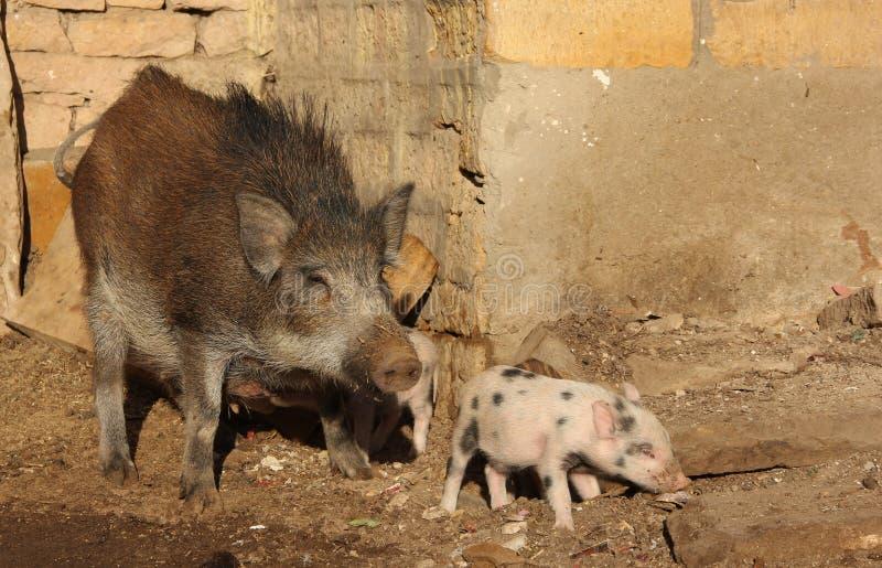 Un par de cerdos en una pluma imagen de archivo