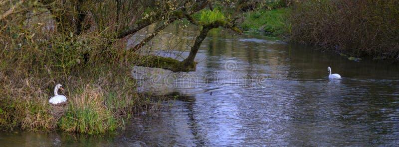 Un par de cisnes de la jerarquización en el río Itchen en primavera en Ovington, Hampshire, Reino Unido fotografía de archivo libre de regalías