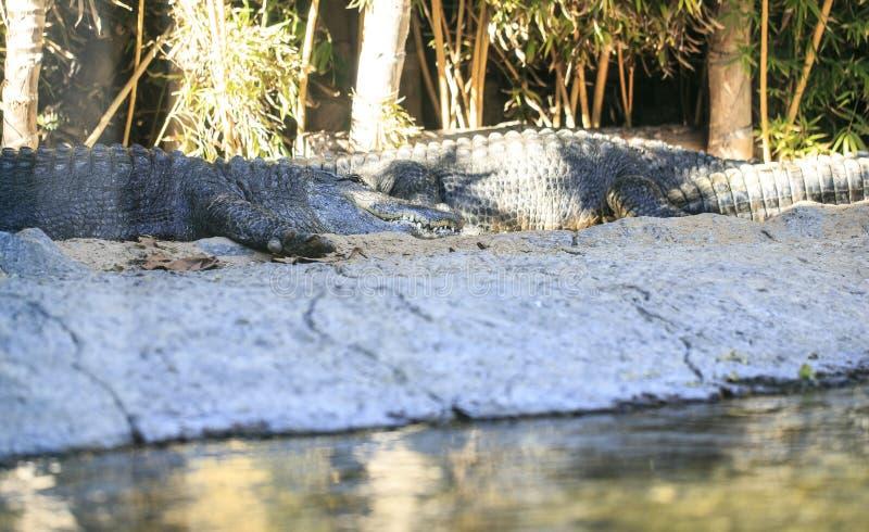 Un par de cocodrilos en un parque zoológico fotos de archivo libres de regalías