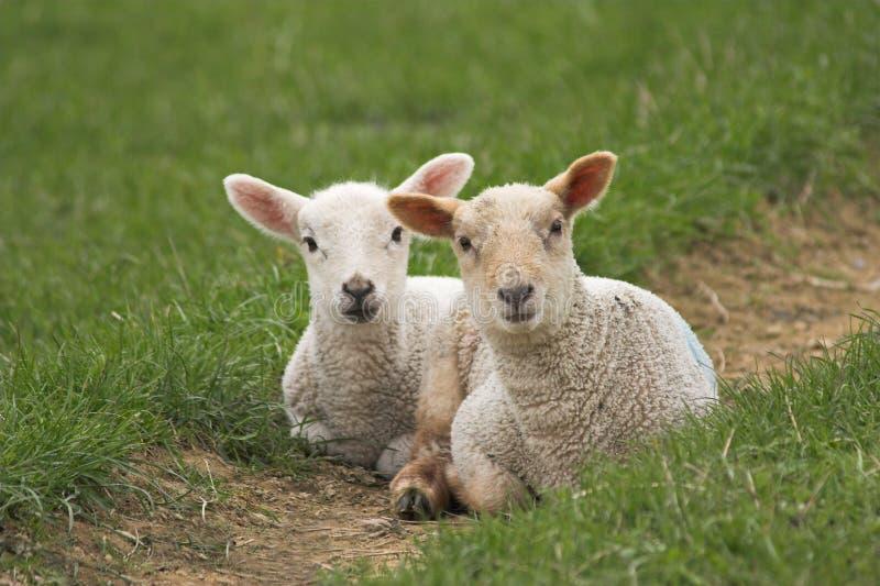 Un par de corderos recién nacidos foto de archivo libre de regalías