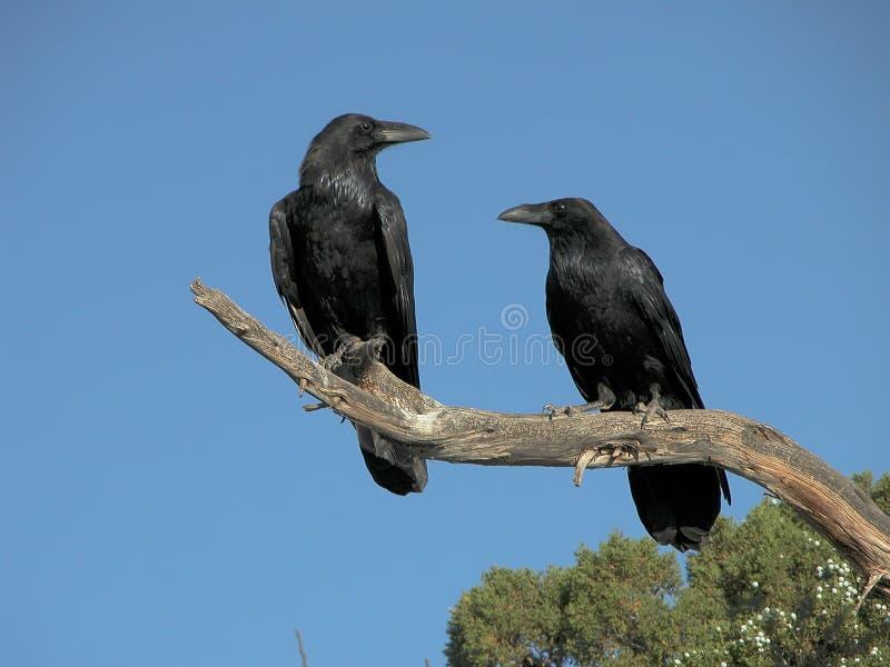 Un par de cuervos fotografía de archivo