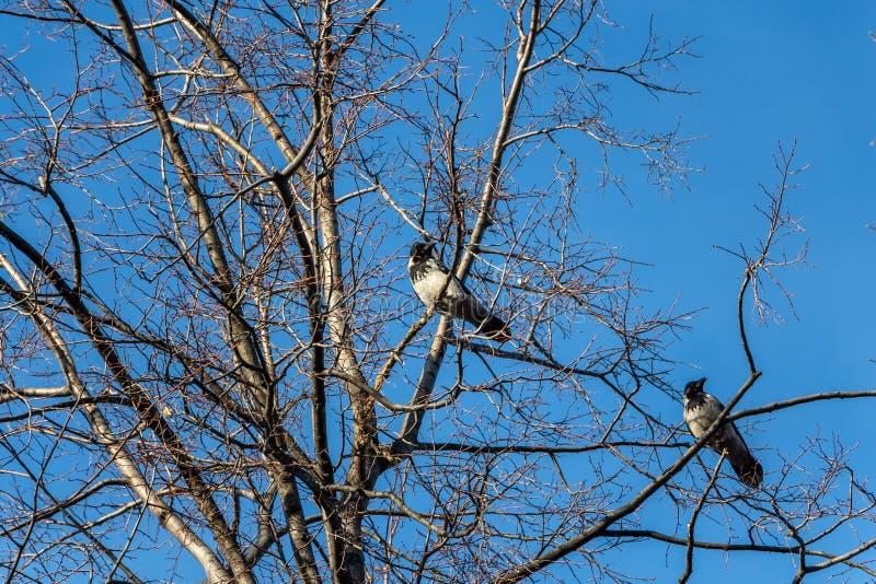 Un par de cuervos negros y grises se sienta en un árbol gris sin las hojas en un fondo del cielo azul fotos de archivo