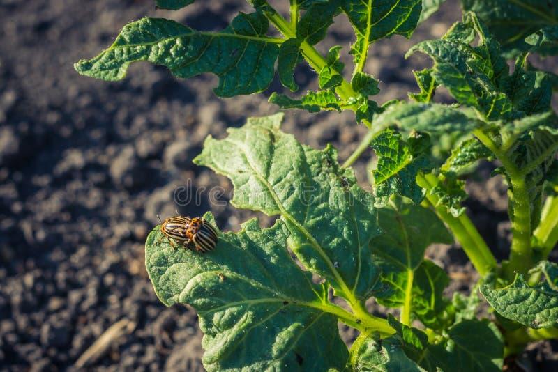 Un par de escarabajos de patata se multiplica en una hoja quemada fotografía de archivo
